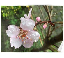 Flower of almond tree Poster