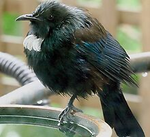 Young Tui -  ' I'm trying to keep dry......! ' by Roy  Massicks