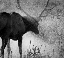 Bull Elk Shakes It Off Sticker