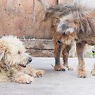 Scruffy dogs by SUBI