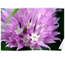 Macro Chive Blossom 4 Poster