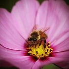 Bee and Flower by mistyrose