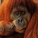 Orangutan by Danielle  Miner
