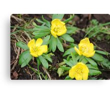 First Yellow Flowers of the Season Canvas Print