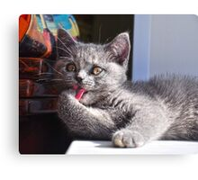 A cute british kitten licking its paw closeup Canvas Print