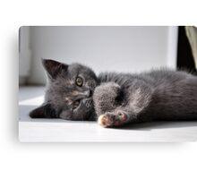 A cute british kitten closeup Canvas Print