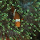 False Clownfish by Mark Rosenstein