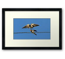 Swallow feeding young Framed Print