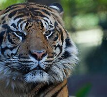 Tiger by ChrisFrankPhoto
