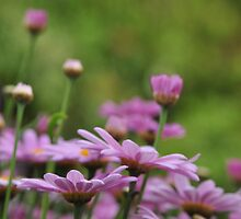 Daisies in the pink by Heather Thorsen