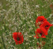 Poppies and grass in the wind by Heather Thorsen