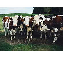 Cow Herd Up Close Photographic Print