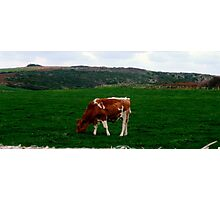 Young Bull on Meadow Photographic Print