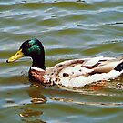 Mallard Duck by Susan Savad