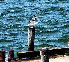 Seagull Landing by Susan Savad
