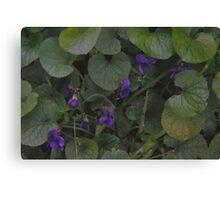 Wild Violets  Canvas Print