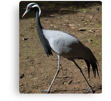 Striding along - Crane bird Canvas Print
