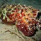 Cuttlefish by Rob Emery