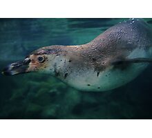Swimming Penguin - limited supply Photographic Print