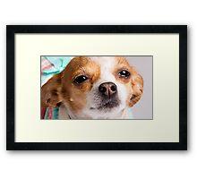Karina the Precious Chihuahua Framed Print