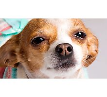 Karina the Precious Chihuahua Photographic Print