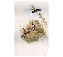 A monograph of the Trochilidæ or family of humming birds by John Gould 1861 V4 238 Poster