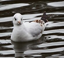 Gull on the water by Deb Vincent