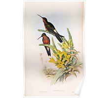 A monograph of the Trochilidæ or family of humming birds by John Gould 1861 V4 126 Poster