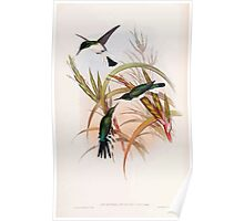 A monograph of the Trochilidæ or family of humming birds by John Gould 1861 V4 062 Poster