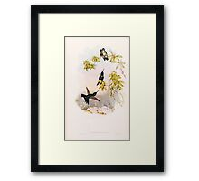 A monograph of the Trochilidæ or family of humming birds by John Gould 1861 V3 304 Urosticti Benjamini Framed Print