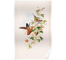 A monograph of the Trochilidæ or family of humming birds by John Gould 1861 V4 154 Poster