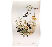 A monograph of the Trochilidæ or family of humming birds by John Gould 1861 V4 174 Poster