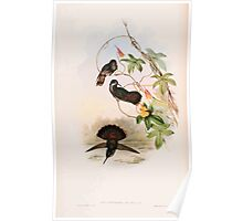 A monograph of the Trochilidæ or family of humming birds by John Gould 1861 V4 114 Poster