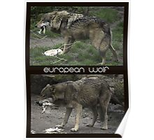 European Wolf Eating Poster