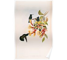 A monograph of the Trochilidæ or family of humming birds by John Gould 1861 V4 106 Poster