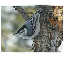 White breasted Nuthatch Poster