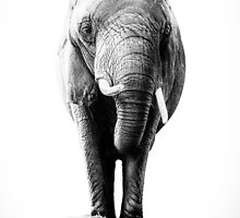 Elephant Noir by Thomas Gehrke