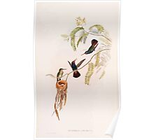 A monograph of the Trochilidæ or family of humming birds by John Gould 1861 V5 244 Poster