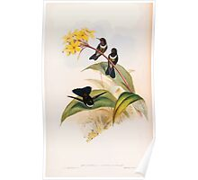A monograph of the Trochilidæ or family of humming birds by John Gould 1861 V4 170 Poster