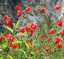 Poppies on bank of the Danube, Austria  by Charles Good