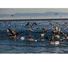 Pelicans bathing in the ocean Photographic Print