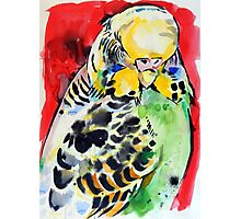 budgie Photographic Print