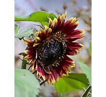 JUST PHOTOS ~ FLORAL ~ Burgundy and Flame by tasmanianartist Photographic Print