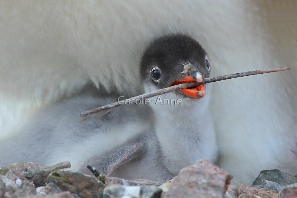 Penguin - Gentoo Chick by Carole-Anne