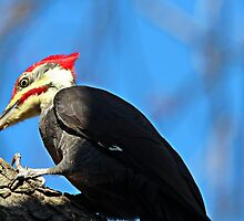 Pileated Woodpecker Closeup by hummingbirds