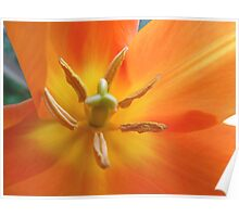 Lily-flowered Tulip Poster