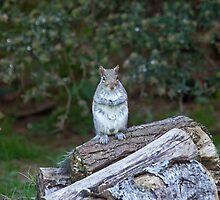 Grey Squirrel upright by Sue Robinson