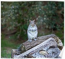 Grey Squirrel upright Poster