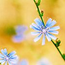 Wild Chicory by Colleen Farrell