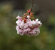 Pink Blossom by Sue Robinson